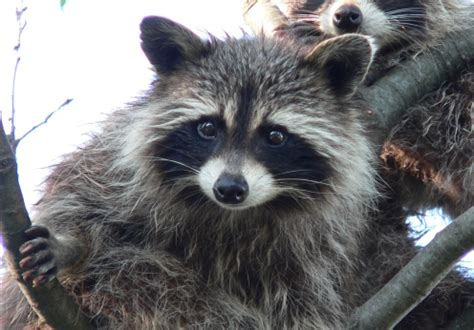 what to do if a raccoon is in your backyard raccoons archives abc humane wildlife
