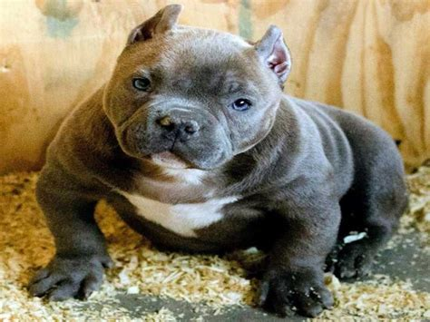 american best puppies american bully puppies