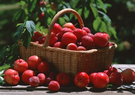 eat cherry plums  lose weight