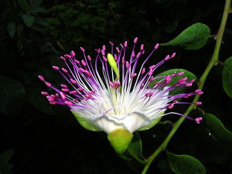 fior di cappero fiore di cappero foto immagini piante fiori e funghi