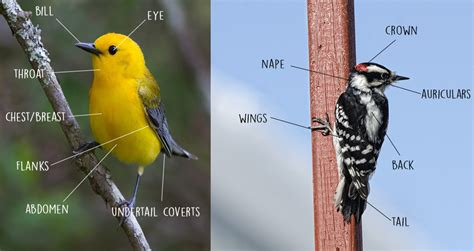 fall birding identifying key field markings the