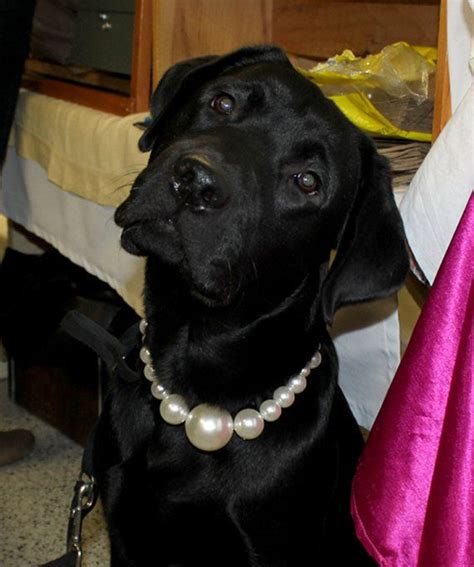 pearl dogs 50 best images about pearl and cat collars on cats pet collars and pearls