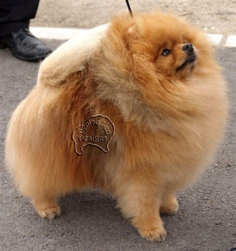 pomeranians shed pomeranians and shedding pomeranian information and facts