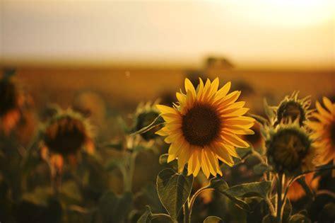 sunflower vintage  wallpaper  baltana
