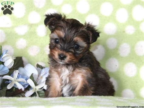 yorkie poos for sale in pa pin by events beyond event designer planner on adorable beagles