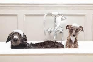 2 Dogs In A Bathtub Funny Wet Dogs In Bathtub Stock Photo 169 Adogslifephoto