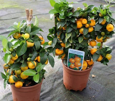 tanaman jeruk kalamansi calamondin bibitbungacom
