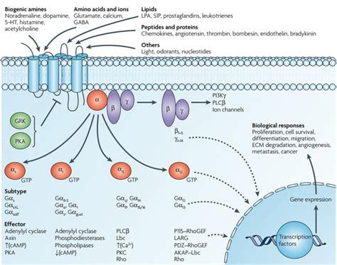 GPCR Pathway - Creative Diagnostics G Protein Coupled Receptors Pathway