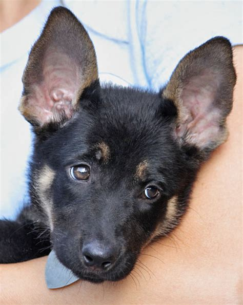 8 week german shepherd puppy german shepherd puppies 8 weeks dogs our friends photo
