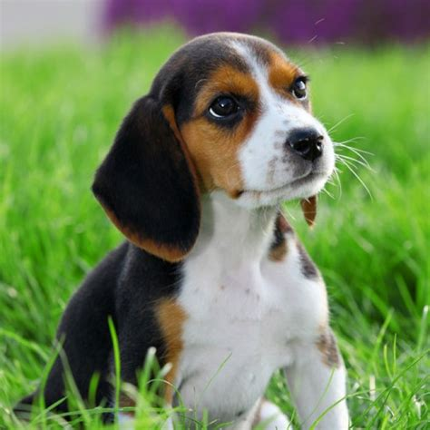 how much are beagle puppies beagle breed information and facts cuties beagle beagle and