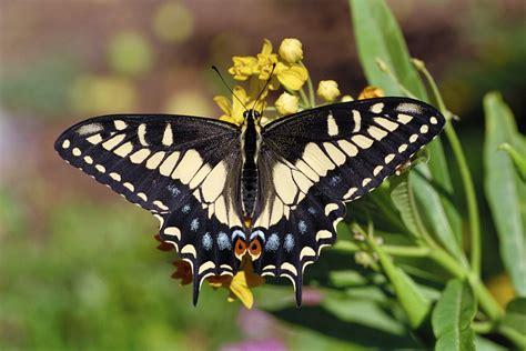 black swallowtail butterfly eastern black swallowtail butterfly male naturetime