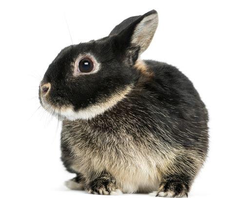 rabbit colors netherland rabbit colors