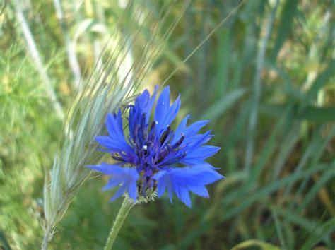 Esmonia Lopperio Flower national symbols estonia course