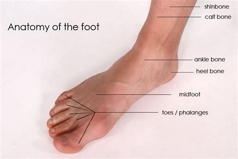 sections of the foot the anatomy of the foot schuhdealer bloga blog all about