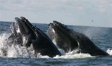 bermuda triangle html bermuda triangle to become humpback whale