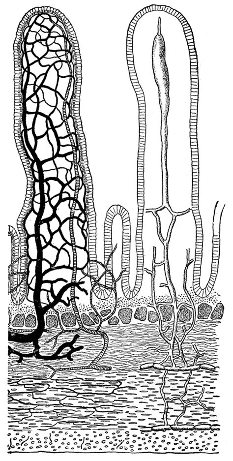 transverse section of small intestine transverse section of the small intestine clipart etc