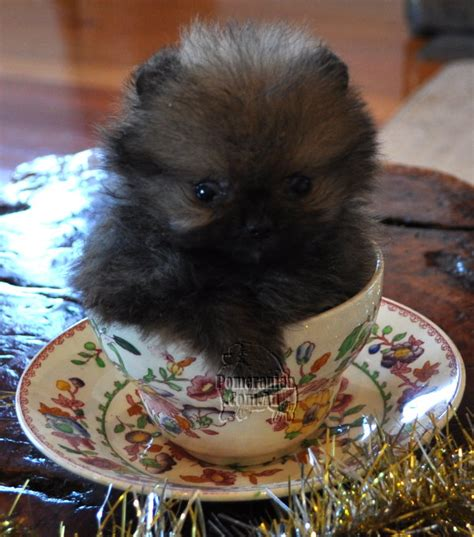 buying a pomeranian where can you buy a mini miniature or teacup pom pomeranian information and facts