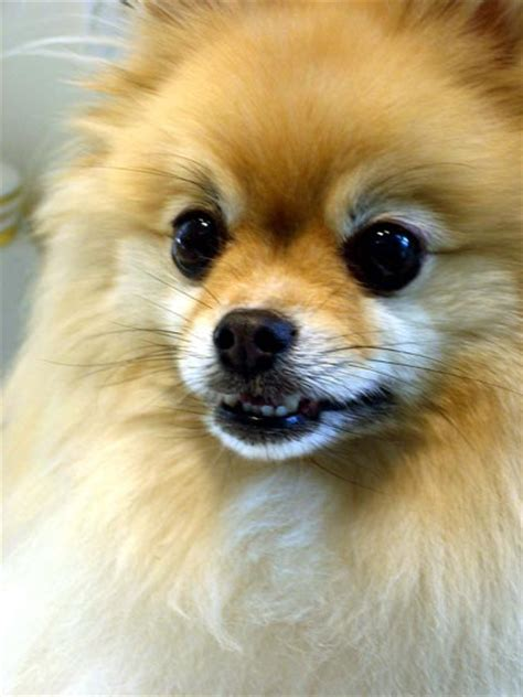 pomeranian dogs names pomeranian puppy names image search results