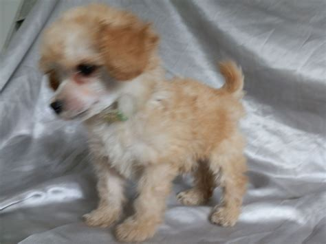 Tiny Teacup Poodle Puppies For Sale Grantham Lincolnshire Pets4homes