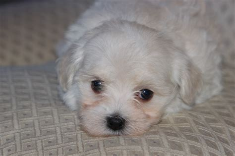 havanese breeders pics for gt white havanese puppies