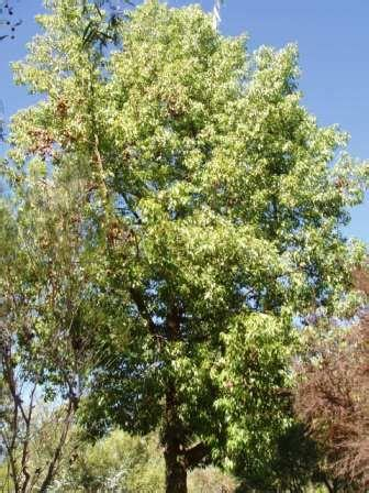 brachychiton populneus australian native plants plants