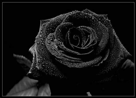 imagenes de rosas negras para whatsapp mo 241 os negros lazos de luto y rosas de duelo en im 225 genes