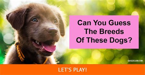 guess the breed can you guess the breeds of these dogs trivia quiz quiz club