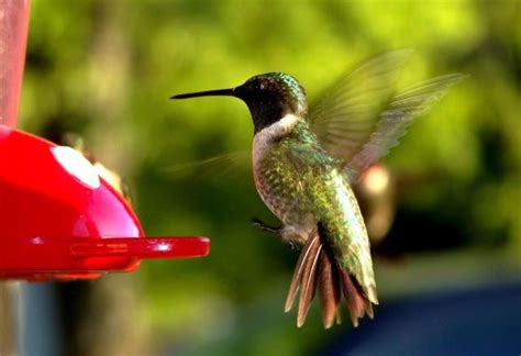hummingbird facts for kids hummingbird diet habitat
