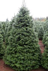 wholesale noble fir fresh cut christmas trees