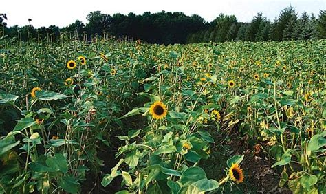 Sunny sunflowers bring happiness   Michigan Gardener