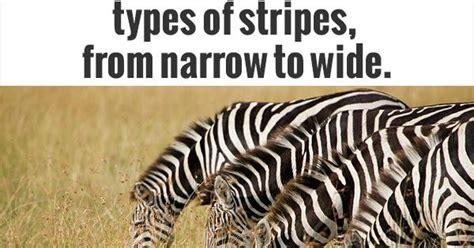 zebra pattern evolution edidyouknow com different zebra species have different