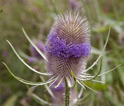 a flower file teasel flower 3746692994 jpg