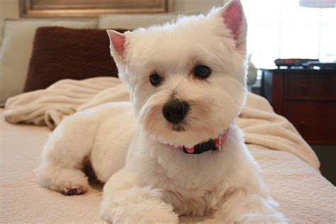 pictures of haircuts for westies 7 best images about hairstyles for layla on pinterest
