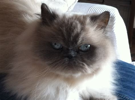 gatti persiani grigi gatto persiano grigio occhi azzurri tarquinia pian di