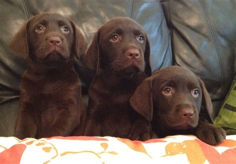 chocolate labrador puppies for sale chocolate labrador puppies for sale west drayton middlesex pets4homes