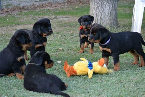 rottweiler rescue ca rottweiler rescue puppies 28 images rottweiler rescue and adoption near you adopt