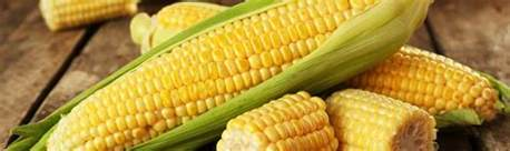 can rabbits eat fresh corn on the cob furry facts