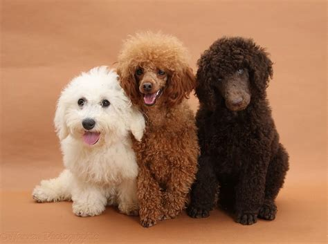 small poodle lifespan poodle
