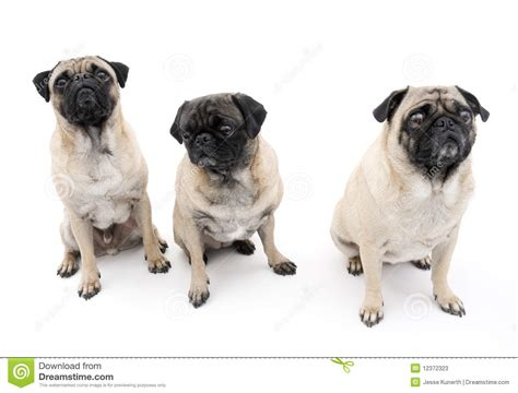 three pugs three pugs isolated stock photos image 12372323