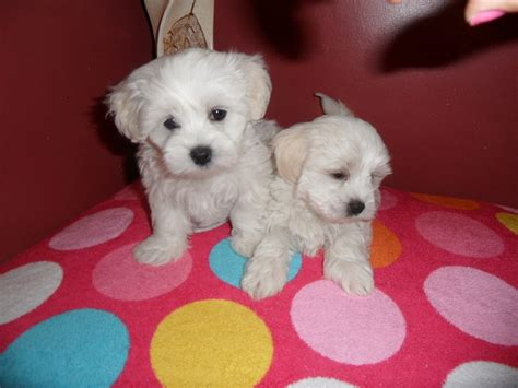 maltese puppies for sale colorado maltese puppies for sale maltese for sale