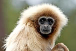 gibbon 224 mains blanches zoo de la palmyre