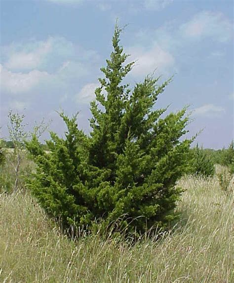 cedar trees eastern cedar