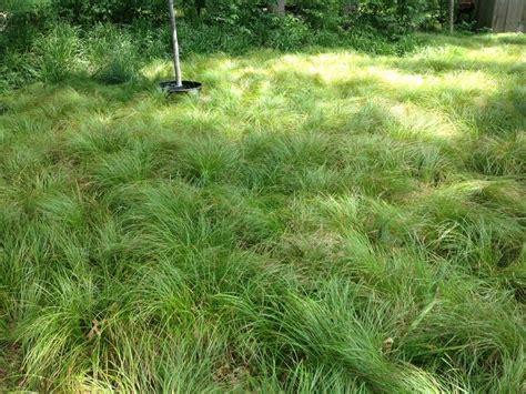 lawn alternative planted with pennsylvania sedge garden