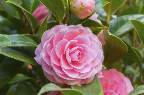 Camelia Pink what do camellia flowers symbolize we bet you didn t this