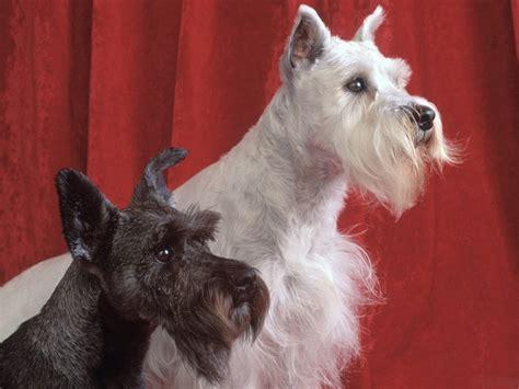 schnauzer dogs schnauzer
