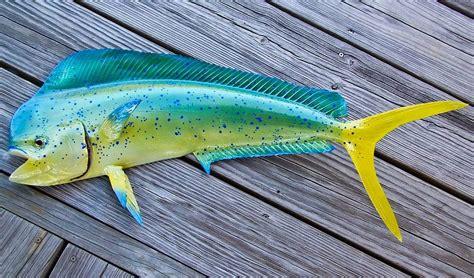 mahi mahi images mahi mahi fishes world hd images free photos