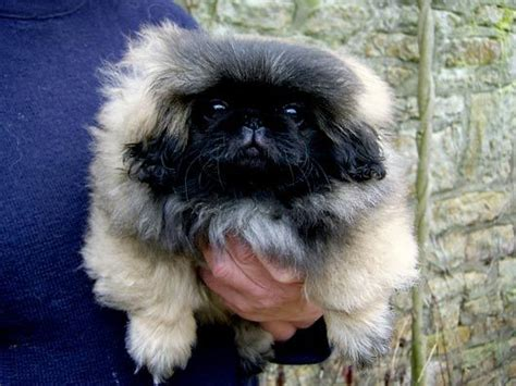 pekingese puppies for sale pekingese puppy pekes