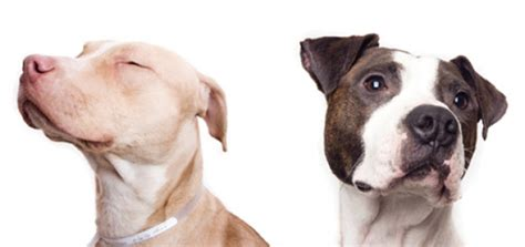 chagne pitbull puppies what is it about pit bulls modern magazine