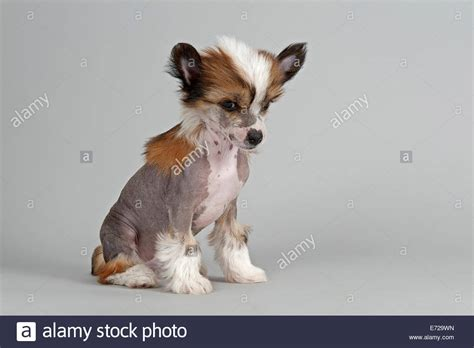 crested hairless puppies crested hairless puppy 7 weeks stock photo royalty free image