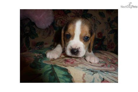 beagle puppies seattle beagle puppy for sale near seattle tacoma washington 1d50f727 b731